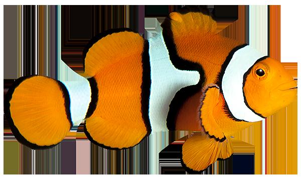 pez payaso sonriente